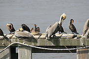 Preening Gray Pelicans and Cormorants sunning themselves on a dock on Jekyll Island Georgia.