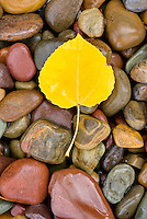 Fallen Aspen leaves (Populus tremuloides) on colorful stones along Lake McDonald, Glacier National Park Montana USA
