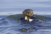 Southern Sea Otter<br /> Enhydra lutris<br /> Feeding on clam<br /> Monterey Bay,  CA, USA