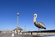 Pelican on the Huntington Beach Pier