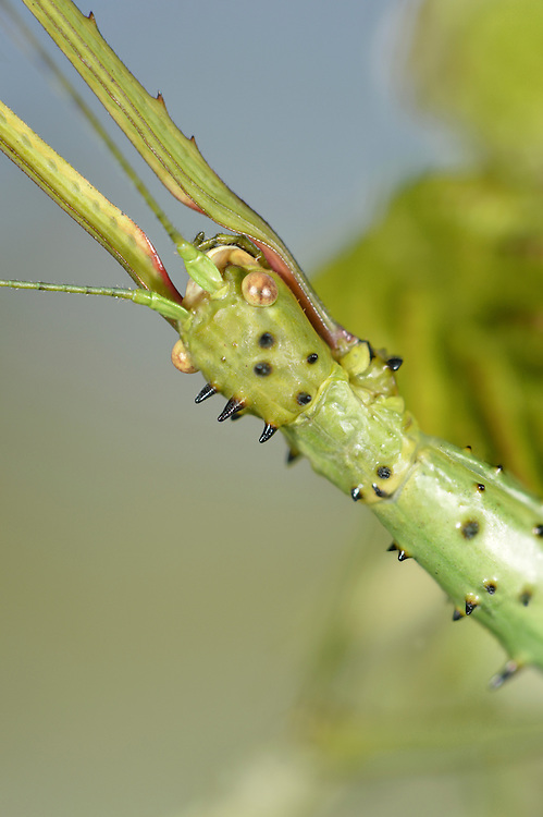 Prickly Stick Insect - Acanthoxyla geisovii