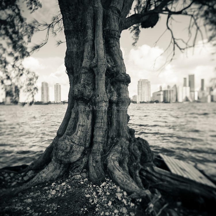 Gnarly tree trunk of one of the Austrailan Pines that lines the Rickenbacker Causway ovelooking Biscayne bay and the Brickell waterfront viewed from Key Biscayne, Miami