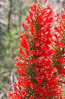Red Standing Cypress (Ipomopsis rubra), Lampasas County, Texas