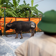 A buffalo is tied to a holding area to be slaughtered after losing its match at a buffalo fighting festival in Do Son, Vietnam, 27 September, 2009. Do Son, a popular beach-side town three hours east of Hanoi, plays host to an annual Buffalo Fighting Festival every autumn, with water buffalo and their entourage of farmers and trainers arriving from all over the mountainous north, where they have been in isolated training for months..The bulls are led into a football stadium and lock horns, the victor eventually chasing the vanquished out of the grounds to thunderous applauds from thousands of spectators, most of whom are betting heavily on the fights. The buffalo - both winners and losers - are then slaughtered outside the stadium, with their prize-fighting meat fetching up to $50 per kilogram for their owners.