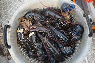 Catch of lobsters (Homarus gammarus).