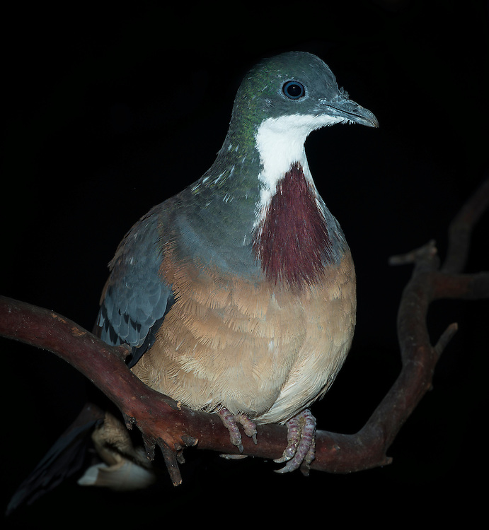 Bartlett's Bleeding Heart Dove, (Gallicolumba crinigera), captive, credit: Pandemonium Aviaries/M.D.Kern