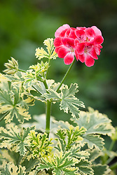 Pelargonium 'Phyllis Variegated'. Unique  pelargonium