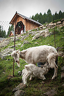 A goat suckles a kid. Village of Brontallo (Switzerland). July 04, 2014. Beñat and Nathalie spend two months (July and August) on Spulüi, at 1.900 meters, taking care of goats and making cheese. Their children Kemen (7 years old) and Oihu (18 months) are with them. (Gari Garaialde / Bostok Photo)