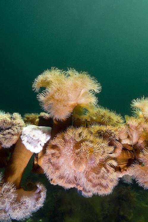 Plumose anemone (Metridium senile). Location : Ryfylke, Norway