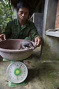 Sunda pangolin <br /> Manis javanica<br /> Caretaker weighing three-month-old baby, rescued and in rehabilitation<br /> Carnivore and Pangolin Conservation Program, Cuc Phuong National Park, Vietnam<br /> *Captive - rescued from poachers
