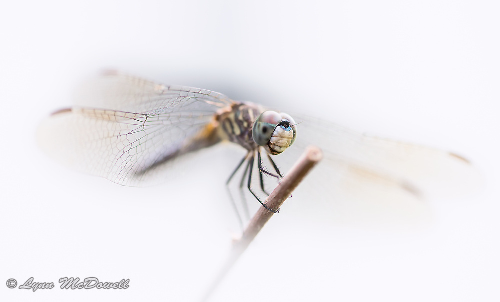 This amazing dragonfly sat still for a macro photo shoot.  Middletown, Delaware