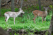 A piebald White-tailed deer stands next to a normal white-tailed deer in a forest in springtime.