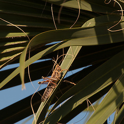 Grasshopper on Saw Palmetto (Serenoa repens), Merritt Island National Wildlife Refuge, Titusville, Florida, US