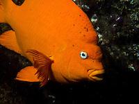 Garibaldi (Hypsypops rubicundus)