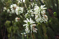 Erica sessiliflora, Agulhas National Park, Western Cape, South Africa
