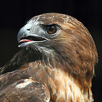 A Red-tailed Hawk, Buteo jamaicensis, portrait looking backwards. Turtleback Zoo, West Orange, New Jersey, USA