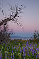 """Lupine Sunset 5"" -This sunset and lupine flowers were photographed at Lake Forest Beach Park at Lake Tahoe, just outside of Tahoe City, CA."