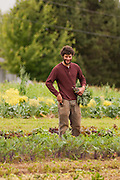 Male farm worker amongst vegetables.