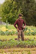 Male farm worker amongst vegetables.