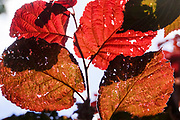 orange leafs for autumn