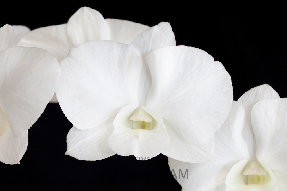 White orchid exotic flower