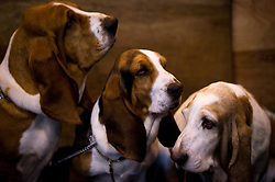 © London News Pictures. 07/03/2013. Birmingham, UK. Basset hounds L to R Tilly, Dr Foo and Peaches resting before their show on day one of Crufts at the Birmingham NEC Arena on March, 07, 2013 in Birmingham, England.  Crufts, which is the largest annual dog show in the world, hosts over 20,000 dogs and owners who compete in a variety of categories. Photo credit : Ben Cawthra/LNP