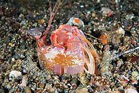 Spearing Mantis Shrimp, poised to strike<br /> <br /> Shot in Indonesia