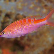 A beautiful Lori's Anthias (Pseudanthias lori). This fish is male, with characteristic red, orange, yellow, blue and purple coloration on its body. Photographed at Carl's Ultimate dive site in the Eastern Fields of Papua New Guinea, a submerged coral reef atoll in the Coral Sea