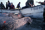 Hunting Walrus<br /> Chucki Sea <br /> Siberia<br /> Russia