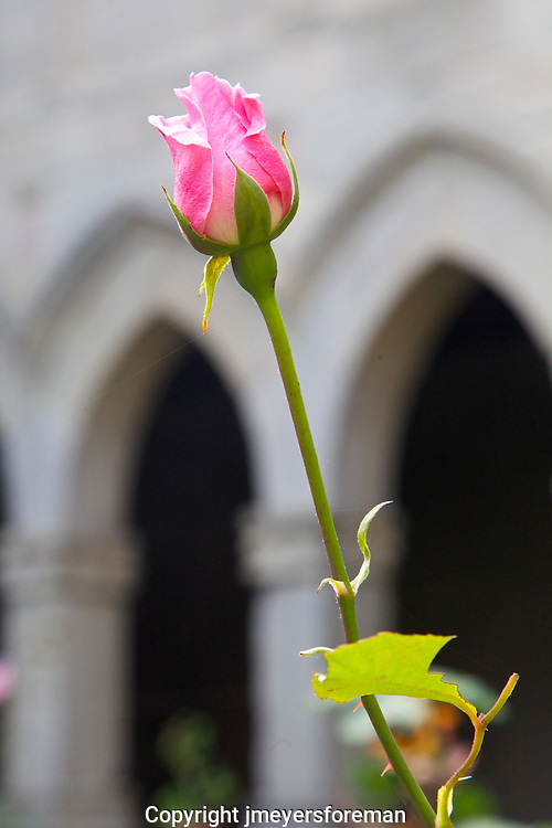 Single pink rose in the Monastery of the Magdalena of Sarria, cloister