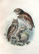Owl by Legge