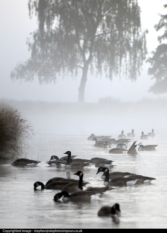 © Licensed to London News Pictures. 14/10/2012. Richmond, UK Canadian Geese feed in a lake. Early morning mist and sunshine in Richmond Park, Surrey, today 14th October 2012. Photo credit : Stephen Simpson/LNP
