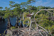 Osprey perched on branch next to stick nest in cypress tree on a lake shore with many cypress, with small nestlings in nest cavity, © 2007 David A. Ponton