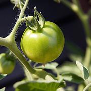 Green Tomato (vertical)