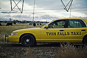 Twin Falls Taxi with cows in Twin Falls, ID