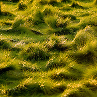 Random pattern of green marsh grass likely pushed around by wind and tide the floods this tidal field.