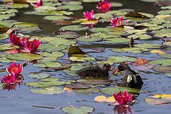 Englefield Green, UK. 27 June, 2019. A moorhen feeds a chick on a warm, sunny June day at the Cow Pond, an ornamental lake gilded with four different types of water lily, coloured white, pink, carmine red and gold, in Windsor Great Park. Temperatures are expected to rise in the south of England before the weekend as the heatwave intensifies still further in much of mainland Europe. The Cow Pond was renovated in 2012 to commemorate the Queen's Diamond Jubilee.