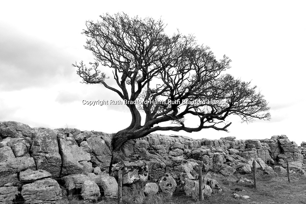 A lone twisted, gnarled native Hawthorn (Crataegus monogyna) tree grows out of the edge of the limestone pavement of New Close above Gordale Scar, near Malham, North Yorkshire.<br />