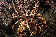 Jasus edwardsii (New Zealand Crayfish)