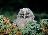 Baby owl in moss