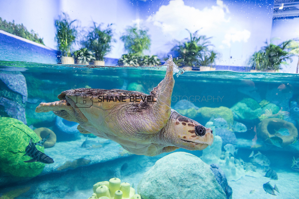 3/2/17 11:00:21 AM -- The ribbon cutting and grand opening of the new sea turtle exhibit at the Oklahoma Aquarium in Jenk, Okla. <br /> <br /> Photo by Shane Bevel