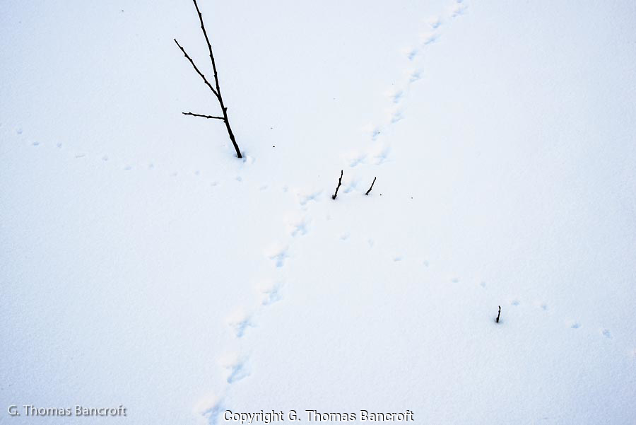 Ptarmigan tracks and mice tracks show that wildlife were out searching for food in this snow covered landscape.