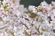 Silvereye, in blossom tree, New Zealand