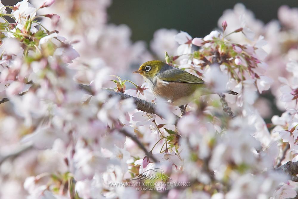 Silvereye, in blossom tree, New Zealand