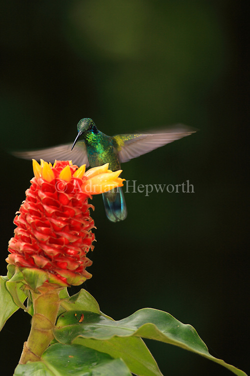 Green Violet-ear Hummingbird (Colibri thalassinus) feeding at Ginger flower (Costus montanus). Cloudforest, Monteverde Cloud Forest Preserve, Costa Rica.