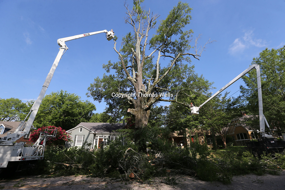 Crews from Tupelo Public Works spent all day Thursday removing a tree along  North Green Street between Jeffereson and Franklin Streets. The tree which was planted following the 1936 tornado has reached it's life expectancy and was beginning to die.