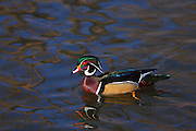 IDAHO. Boise. Wood Duck drake (Aix sponsa) swimming on pond in winter. February 2007  #bw070027