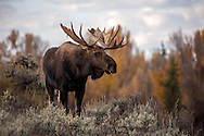 After pursuing his cows towards the Snake River, a massive bull moose pauses for a moment before following them into the trees.