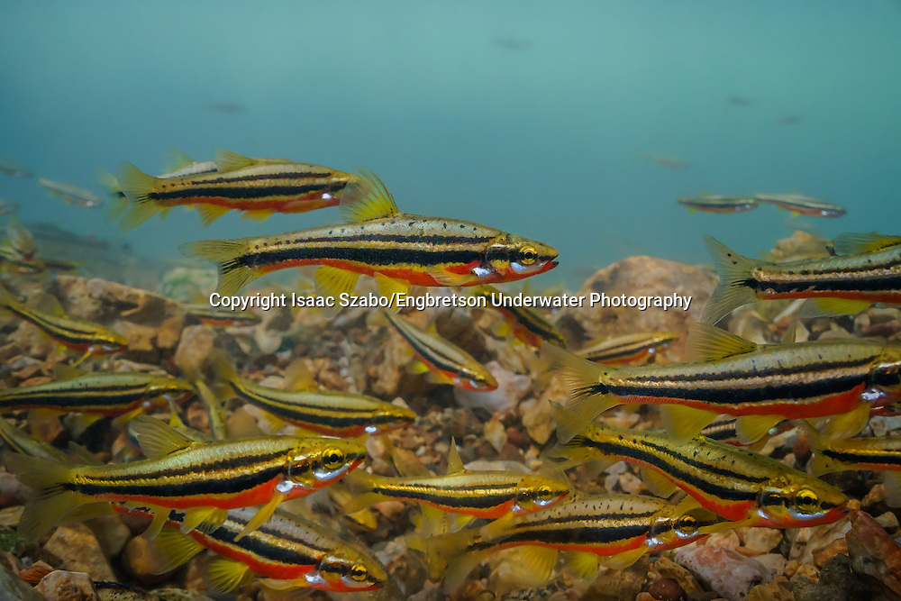 Southern Redbelly Dace<br />