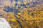 Alewife swiming up the Nemansket river